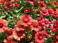 kokarda Gaillardia aristata  'Arizona Red Shades'