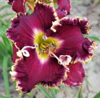 (Hemerocallis hybrida) Denivka Magnificent Grape