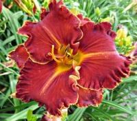 Denivka Spacecoast Gwen Denny (Hemerocallis hybrida)