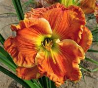 denivka Hemerocallis  'Texas Big Bend'