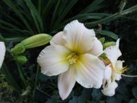 Denivka Artic Snow (Hemerocallis hybrida)