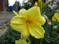 Denivka Happy Returns (Hemerocallis hybrida)
