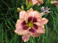 Denivka Daring Deception (Hemerocallis hybrida)