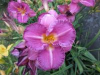Denivka Evening Rose (Hemerocallis hybrida)
