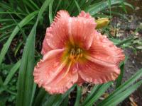 Denivka Forsyth Hot Lips (Hemerocallis hybrida)