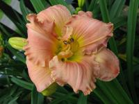 denivka Hemerocallis  'American Original'