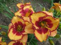 Denivka Andy Candy (Hemerocallis hybrida)
