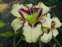 denivka Hemerocallis  'Angel Fairy Tern'