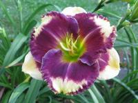 denivka Hemerocallis  'Answering Angels'