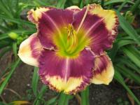 Denivka Answering Angels (Hemerocallis hybrida)