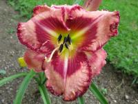 Denivka Believe in Miracles (Hemerocallis hybrida)
