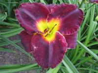 Denivka Jamaican Midnight (Hemerocallis hybrida)