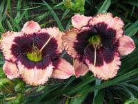 Denivka Jane Trimmer (Hemerocallis hybrida)