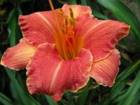 denivka Hemerocallis  'Pretty Fancy'