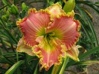 (Hemerocallis hybrida) Denivka Princess Diana