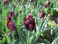 Tulipa  'Black Diamond' - tulipán