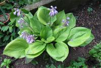 Bohyška Sum Substance (Hosta)