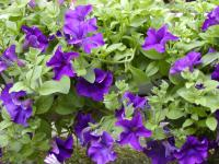 Petunia  Surfinia Blue - surfinie
