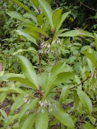 (Ardisia elliptica) Shoebutton - leaves and flowers