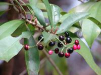 (Ardisia elliptica) Shoebutton - leaves and fruits