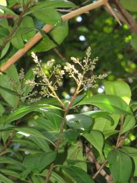 (Ardisia escallonioides) Marlberry - flowers and leaves