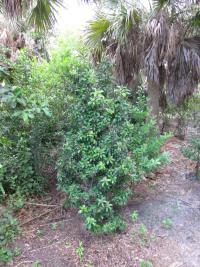 (Ardisia escallonioides) Marlberry - habit