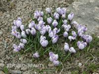 Crocus vernus  'Striped Beauty' - šafrán bělokvětý