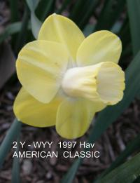 Narcissus  'American Classic' - narcis