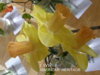 Narcissus  'American Heritage' - narcis