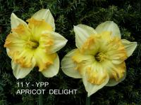Narcissus  'Apricot Delight' - narcis