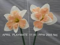 Narcissus  'April Playmate' - narcis