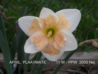 Narcis April Playmate - Papillon narcisy (Narcissus x hybridus)