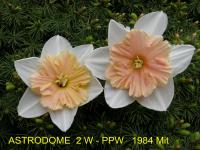 Narcissus  'Astrodome' - narcis
