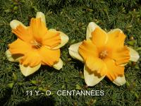 Narcis Centanneés - Collar narcisy (Narcissus x hybridus)