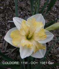 Narcissus  'Coldoree' - narcis