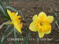 Narcissus  'Congress' - narcis